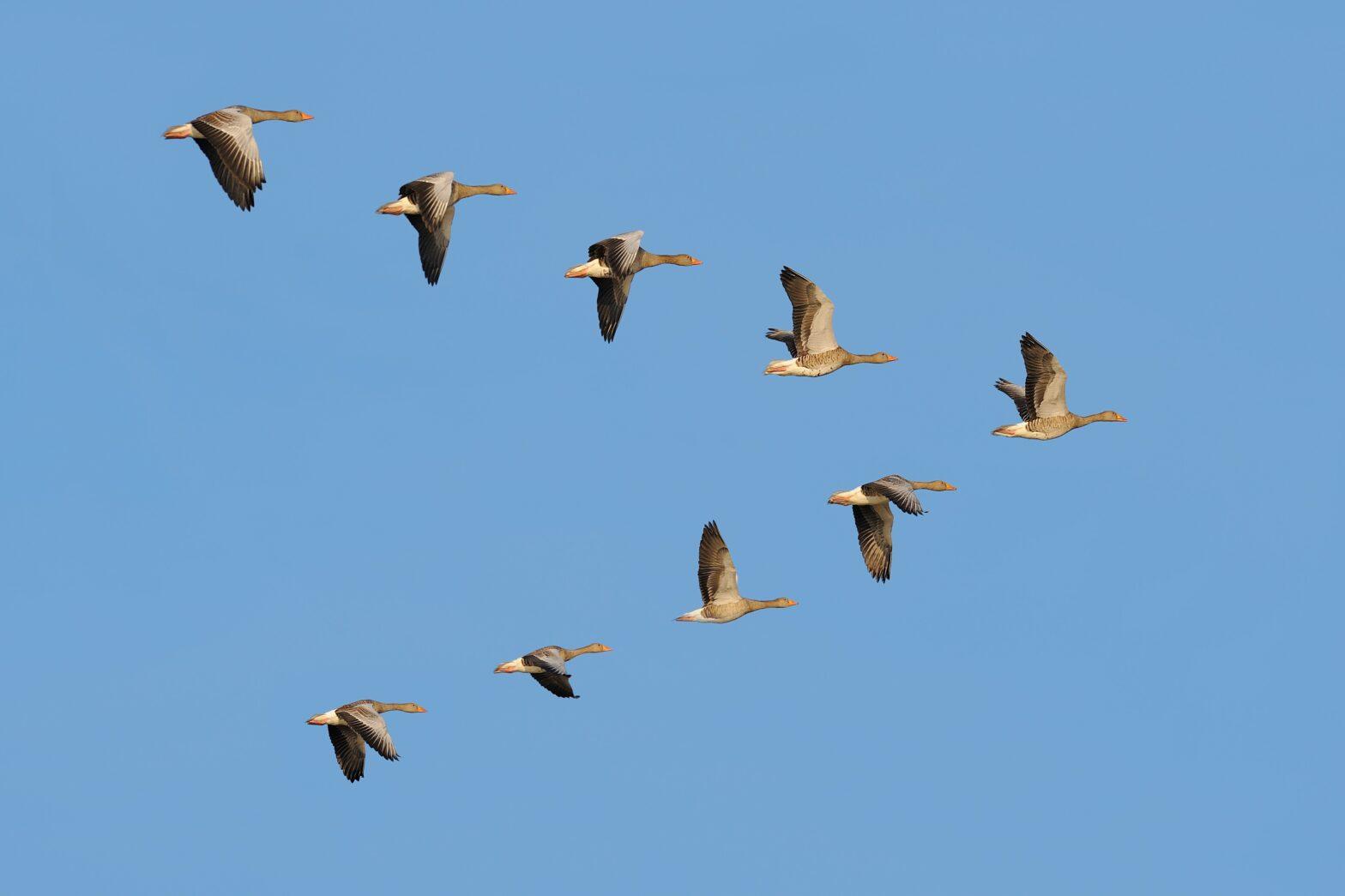 Im Schwarm: Was Führungskultur mit Zugvögeln zu tun hat